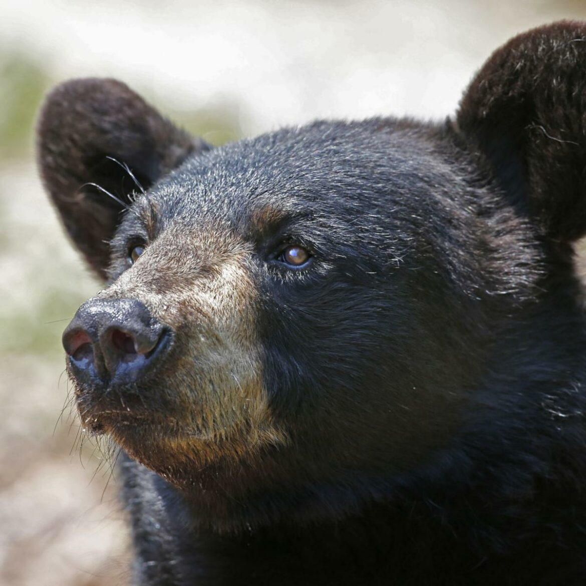 Bear wandering in downtown Florida city eludes searchers