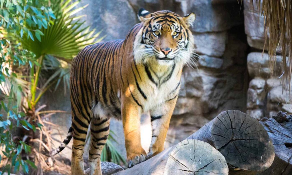 Police Capture Elusive Tiger Poacher After 20 Years of Pursuing the Bengal Cat Killer